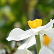 Daffodil In Profile Poster
