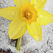 Daffodil In Spring Snow Poster