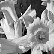 Daffodil Monochrome Study Poster