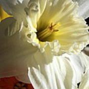 Daffodil Still Life Poster