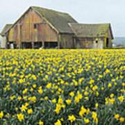 Daffodils And Barn Poster