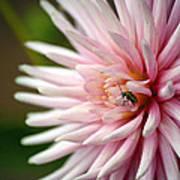 Dahlia Bug Poster