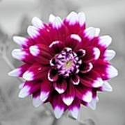 Dahlia Flower 2 Poster