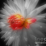 Dahlia Flower Beauty Poster