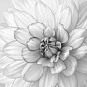 Dahlia Flower Black And White Poster