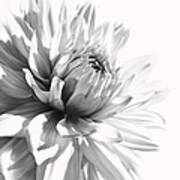 Dahlia Flower In Monochrome Poster