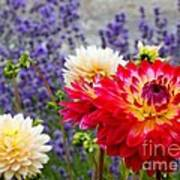 Dahlias Among The Lavender Poster