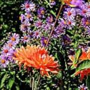 Dahlias And Asters Poster