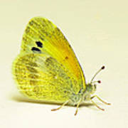 Dainty Sulphur Butterfly Poster
