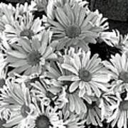 Daises In Black And White Poster