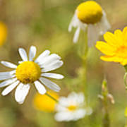 Daisies On Summer Meadow Poster