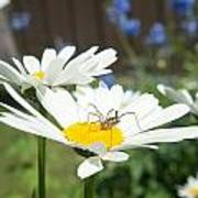 Daisies With Phalangiid Vistitor Poster
