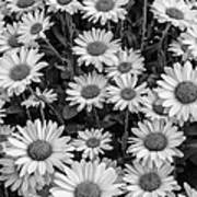 Daisy Cluster Vermont Flowers In Black And White Poster