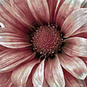Daisy Daisy Blush Pink Poster