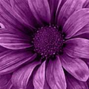 Daisy Daisy Grape Poster