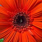 Daisy In Full Bloom Poster