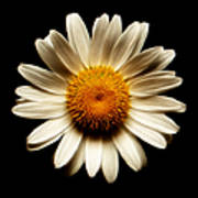 Daisy On Black Square Fractal Poster