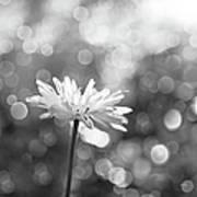 Daisy Rain Poster by Theresa Tahara