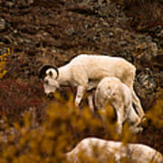 Dall Sheep Grazing Poster