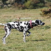 Dalmation Pretending To Be A Pointer Poster
