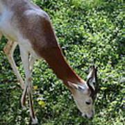 Dama Gazelle - National Zoo - 01137 Poster