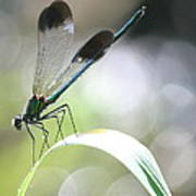 Damselfly On Little River  Poster