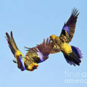 Dance Of The Yellow Crimson Rosella Poster by Bill  Robinson