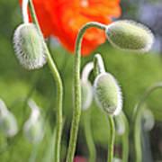 Dancing Orange Poppy Flower Pods Poster