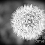 Dandelion 2 In Black And White Poster