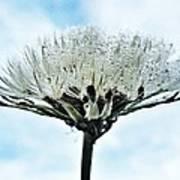 Dandelion After Rain Poster