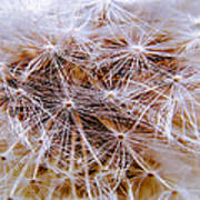 Dandelion Closeup Poster