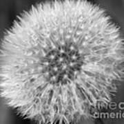 Dandelion Fluff In Black And White Poster