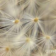 Dandelion Seed Head Macro Iv Poster