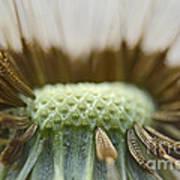 Dandelion Seed Macro Poster