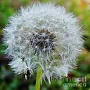 Dandelion Seed Puff Poster