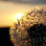 Dandelion Sunset Poster