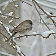 Dark-eyed Junco Or Snowbird - Junco Hyemalis Poster