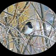 Dark- Eyed Junco Poster