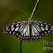 Dark Glassy Tiger Butterfly On Branch Poster