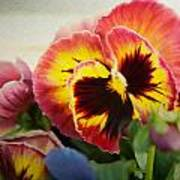 Dark Pinkish-red Pansy Poster