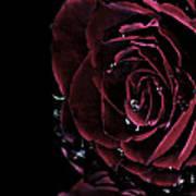 Dark Rose 2 Poster by Ann-Charlotte Fjaerevik
