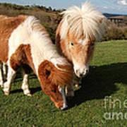 Dartmoor Ponies  Poster