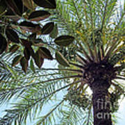 Date Palm And Rubber Tree Branch Poster