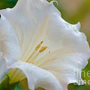 Datura Hybrid White Flower Poster