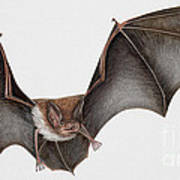 Daubentons Bat Myotis Daubentonii - Murin De Daubenton-murcielago Ribereno-vespertilio Di Daubenton Poster by Urft Valley Art
