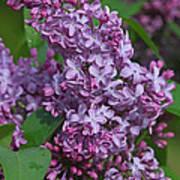 Dawns Lilacs Poster
