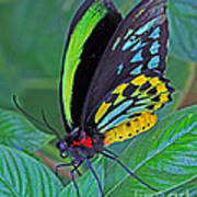 Day-glo Butterfly Poster
