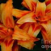 Day Lilies In Soft Focus Poster