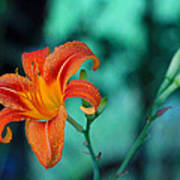 Day Lily 3 Poster
