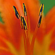 Day Lily Anther Poster